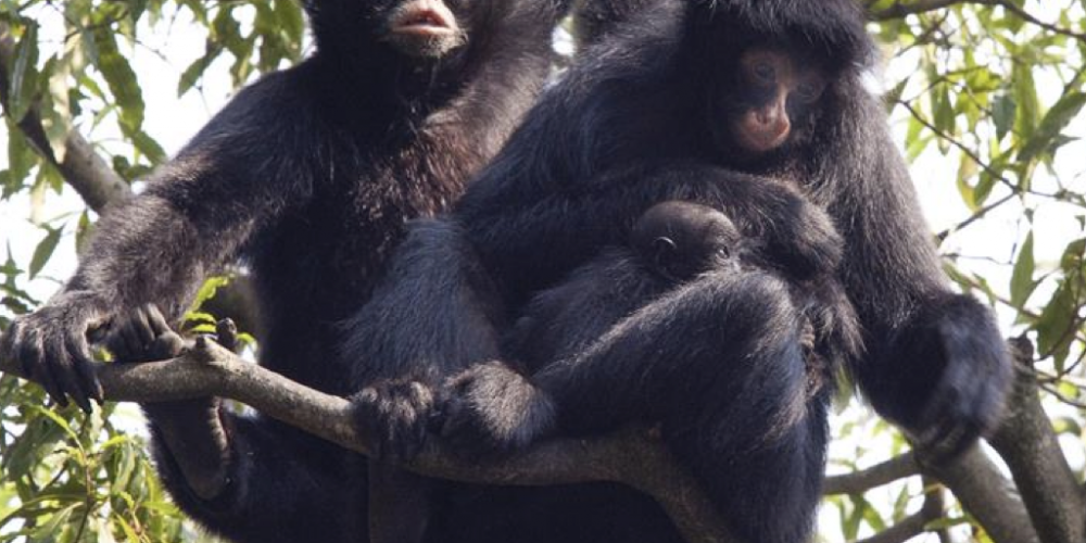 Febre amarela: Município alerta que macacos são 'radares' e não transmitem a doença. Por favor, não matem os bichinhos
